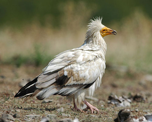 Egyptian Vulture Egyptian Vulture