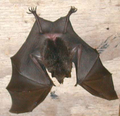 Short Tailed Leaf nosed Bat1 Short Tailed Leaf nosed Bat