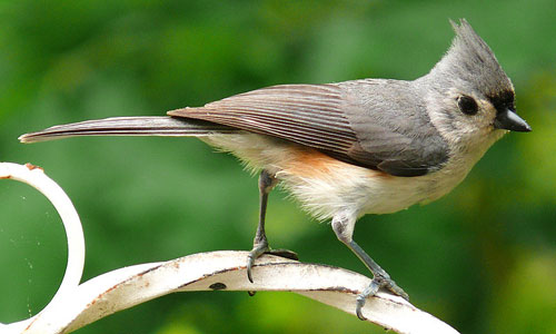 Tufted Titmouse Tufted Titmouse