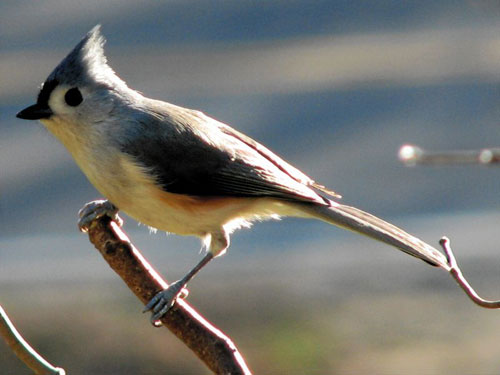 Tufted titmouse2 Tufted Titmouse