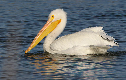 americanwhitepelican American White Pelican