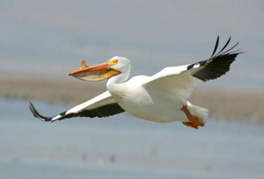 americanwhitepelicanjb American White Pelican