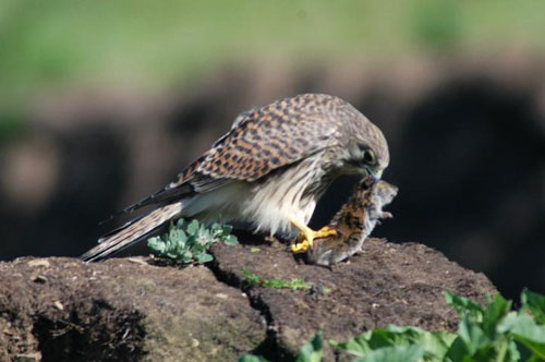 common kestral Kestrel