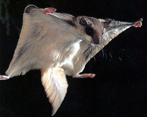 flying squirrel Flying Squirrel