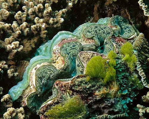 giant clam Giant Clam
