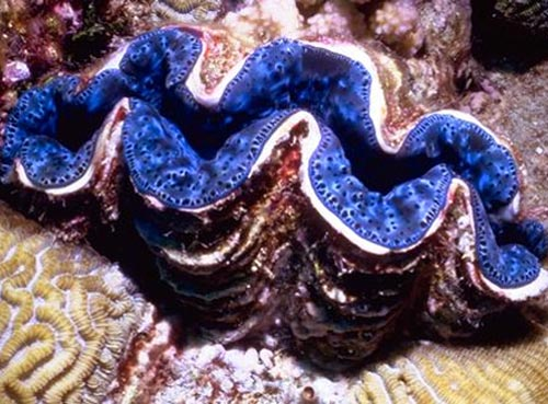 Giant Clam - All About The Giant Clam - Other