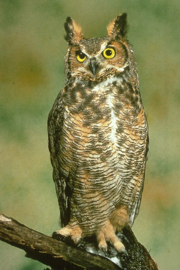 The Great Horned Owl - It's Nature - Birds