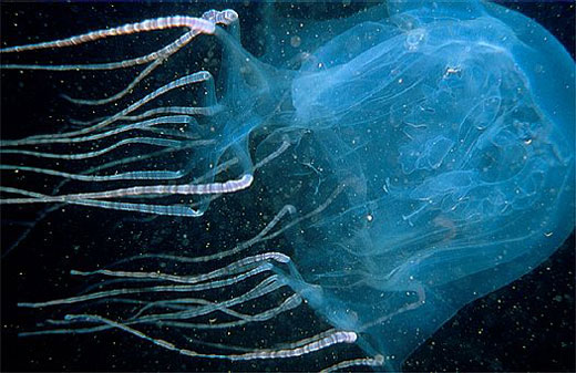 Box Jellyfish - Other