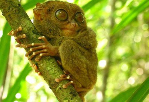 Le tarsier des Philippines, un primate menacé et suicidaire