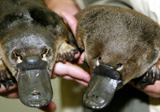 Two Platypus's