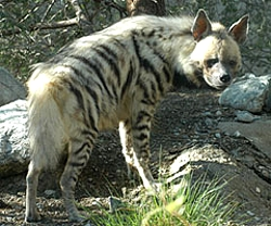 striped hyena Hyena
