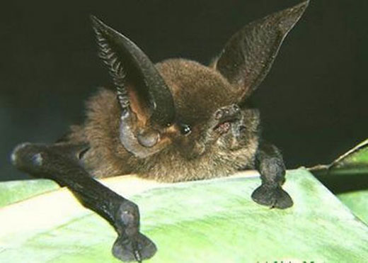 sucker footedbat Sucker Footed Bat