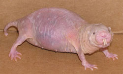 the long lived naked mole rat Naked Mole Rat