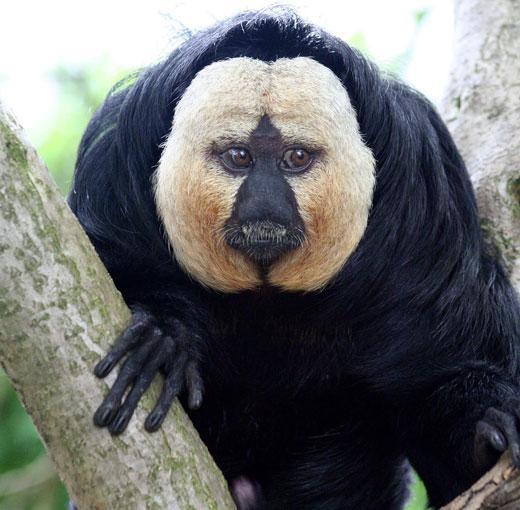 152685087 13a2079d38 b Saki Monkey