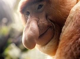 blogger 761 1659 1600 proboscis monkey 3 spluch 2 Proboscis Monkey