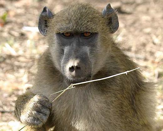 baboon vf 2915 blog Chacma Baboon