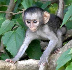 baby monkey Vervet Monkey
