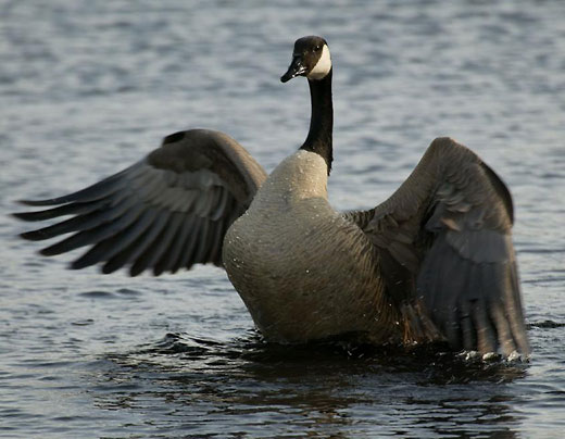 Photo A Canada goose watches