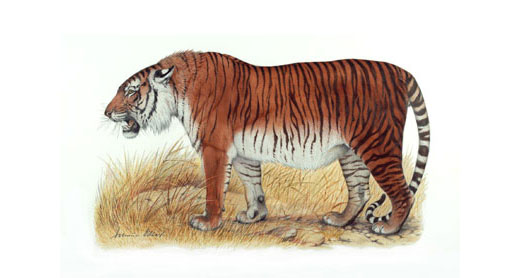 caspian tiger 16207 Caspian Tiger