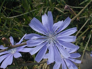 chicory1 Common Chicory