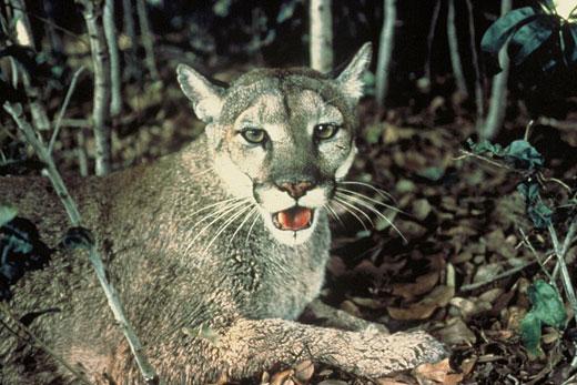florida panther3 Florida Panther