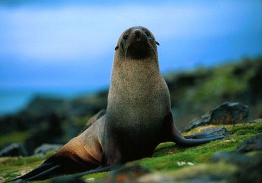 fur seal 3 Fur Seal