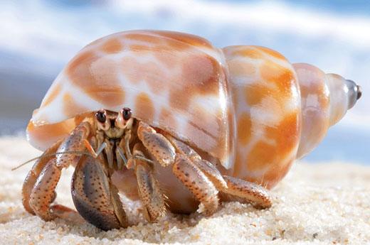 hermit crab cove b Hermit Crab