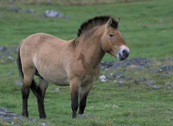 Przewalski Horse | It's Nature - Critically Endangered Species