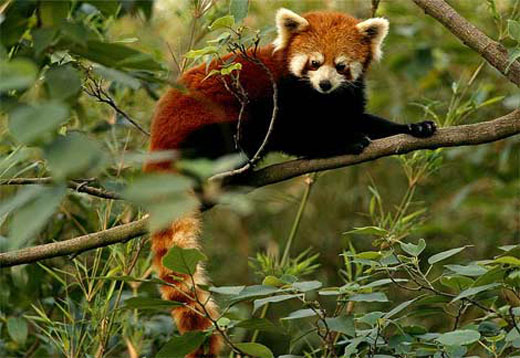 red panda in tree Red Panda