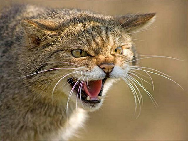 scottishwildcat Scottish Wildcat