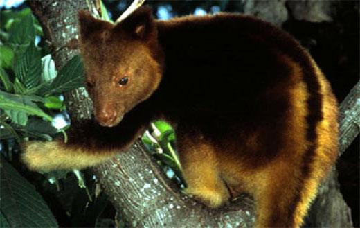 tree kangaroo Tree Kangaroo