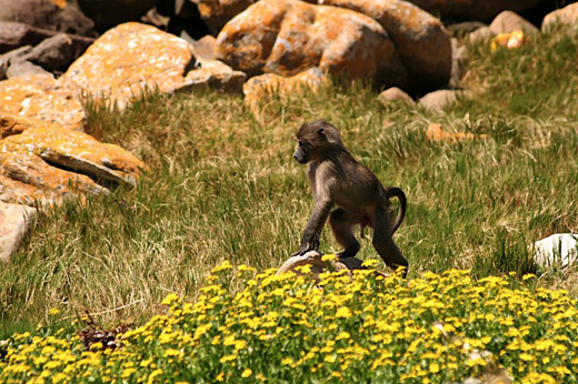 young chacma baboon papio ursinus cape baboon cape peninsula south africa Chacma Baboon