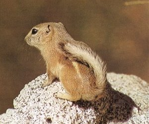 antelope squirrel White tailed Antelope Squirrel