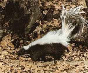 skunk1 Striped Skunk
