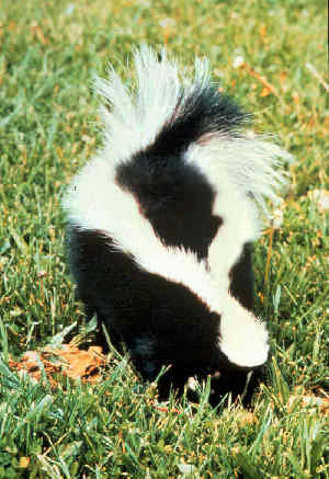 striped skunk Striped Skunk