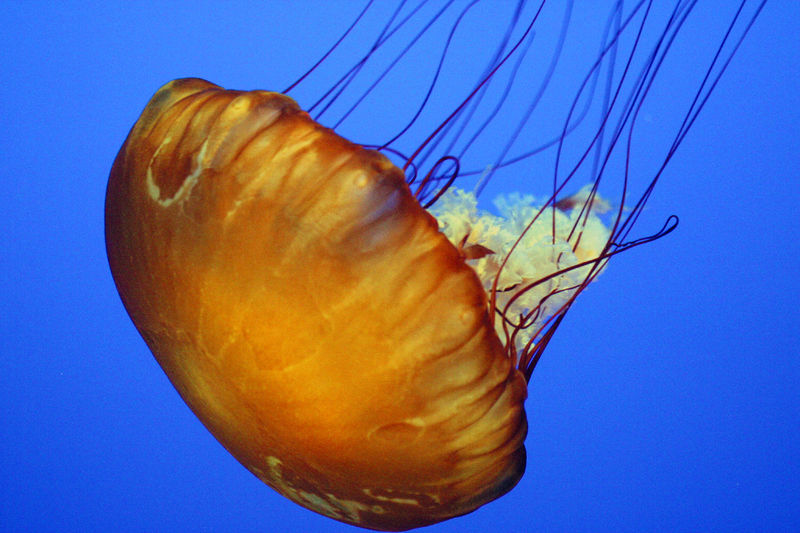800px jelly monterey  The Dangerous Jellyfish
