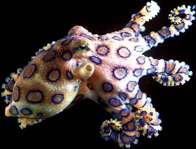 blueringedoctopus  Dangerous Blue Ring Octopus