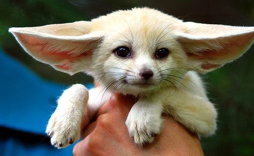 Cute little Fennec.