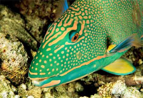 parrot fish Parrot Fish