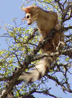 ringtail ruta1 Cacomistle | Ringtail