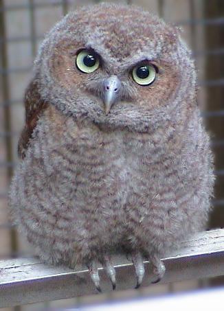 screech owl04fledgling Screech Owl