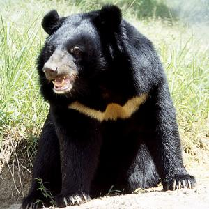 wspa asiatic black bear WSPA Animal Charity