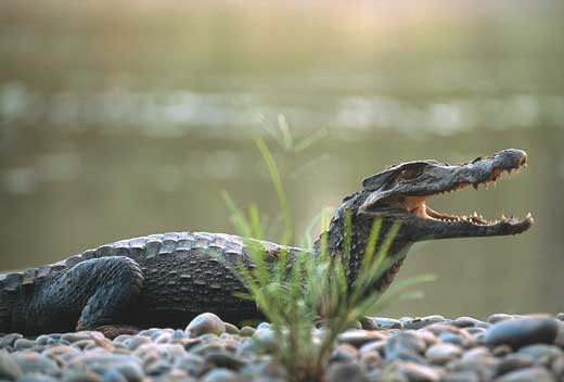 http://www.itsnature.org/wp-content/uploads/2010/01/caiman-large.jpg