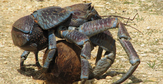 coconutcrab1 Coconut Crab