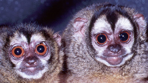 Douroucouli1 10 Mammals You Never Knew Existed