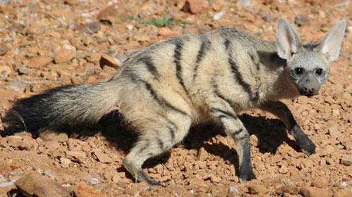 aardwolf11 10 Mammals You Never Knew Existed