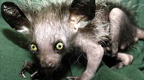 ayeaye11 Top 10 Worlds Ugliest Creatures