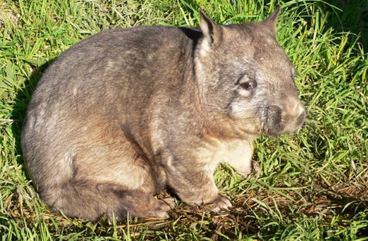 nhnw2 Northern hairy nosed wombat
