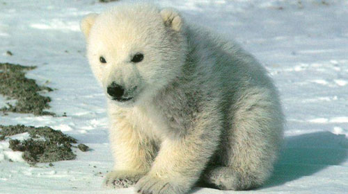 polarbear1 10 Deceptively Dangerous Animals