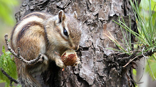 siberianchipmunk 10 Deceptively Dangerous Animals